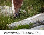 equine mouth with grass close... | Shutterstock . vector #1305026140
