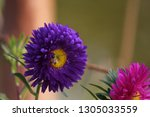 Small photo of Aster is a genus of perennial flowering plants in the family Asteraceae. Its circumscription has been narrowed, and it now encompasses around 180 species, all but one of which are restricted to Eurasi
