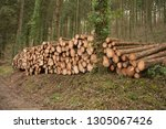 timber stack of recently felled ... | Shutterstock . vector #1305067426