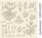 collection of ashwagandha ... | Shutterstock .eps vector #1305113359