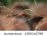 Red And Black Ladybird Beetles...
