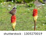 song sparrow perched on red hot ... | Shutterstock . vector #1305270019
