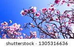 blooming magnolia tree on...   Shutterstock . vector #1305316636