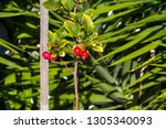 malus  is a genus of about 30... | Shutterstock . vector #1305340093