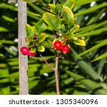 malus  is a genus of about 30... | Shutterstock . vector #1305340096