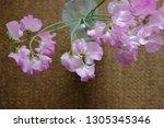 sweet pea flower | Shutterstock . vector #1305345346