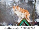 Red Dog Border Collie Training...