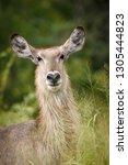 waterbuck  kobus ellipsiprymnus ... | Shutterstock . vector #1305444823