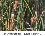 malachite kingfisher  alcedo... | Shutterstock . vector #1305455440