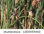 malachite kingfisher  alcedo... | Shutterstock . vector #1305455443