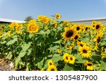 beautiful of sunflower ... | Shutterstock . vector #1305487900