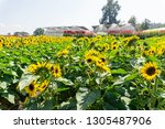 beautiful of sunflower ... | Shutterstock . vector #1305487906