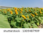 beautiful of sunflower ... | Shutterstock . vector #1305487909