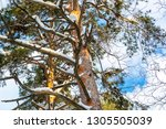 pine tree covered with snow in... | Shutterstock . vector #1305505039