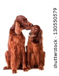 Two Irish Red Setters  ...