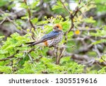 a lesser striped swallow... | Shutterstock . vector #1305519616
