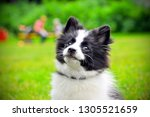 Stock photo cute puppy of papillon dog breed in summer park portrait of lovely papillon puppy playing with 1305521659