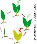 life cycle of lily of the... | Shutterstock .eps vector #1305542200