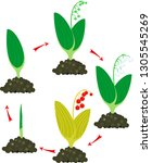 life cycle of lily of the... | Shutterstock .eps vector #1305545269