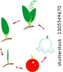 life cycle of lily of the... | Shutterstock .eps vector #1305549670