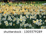 Narcissus Field In Bloom On...