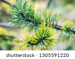 pine branches in autumn colors... | Shutterstock . vector #1305591220