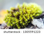 moss on a stone in the autumn... | Shutterstock . vector #1305591223