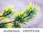 pine branches in autumn colors... | Shutterstock . vector #1305591226