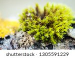 moss on a stone in the autumn... | Shutterstock . vector #1305591229
