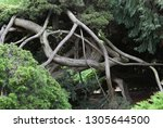 intertwined tree trunks on a...   Shutterstock . vector #1305644500