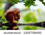 Red Squirrel Baby  Sciurus...