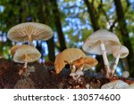 Small photo of Mushrooms on dead Tree Trunk, Oudemansiella mucida (Tricholomataceae) - Autumn in Germany