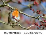 a robin perched on a twig in a... | Shutterstock . vector #1305870940