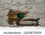couple of mallard ducks on the... | Shutterstock . vector #1305873559