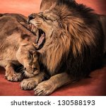 Gorgeous Roaring Lion And...
