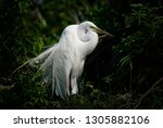 great white egret in nesting... | Shutterstock . vector #1305882106