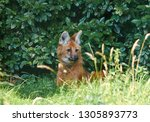 portrait of a maned wolf ... | Shutterstock . vector #1305893773