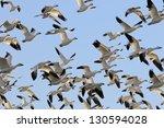 Snow Geese Flying In Blue Sky