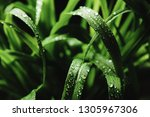 elytrigia repens with dew drops ... | Shutterstock . vector #1305967306