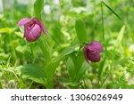 rare species of wild orchids...   Shutterstock . vector #1306026949