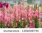 colorful flower of snapdragon... | Shutterstock . vector #1306048750