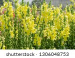 colorful flower of snapdragon... | Shutterstock . vector #1306048753