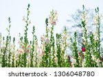 colorful flower of snapdragon... | Shutterstock . vector #1306048780