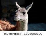 llama  lama glama  in zoo ... | Shutterstock . vector #1306050100