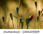 poppy seed boxes on background... | Shutterstock . vector #1306105009