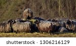 flock of sheep with horns and... | Shutterstock . vector #1306216129