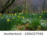 narcissus yellow daffodils and... | Shutterstock . vector #1306227436