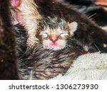 newborn kitten  hours old ... | Shutterstock . vector #1306273930