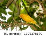 yellow finch gathering spanish... | Shutterstock . vector #1306278970