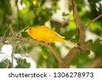 yellow finch gathering spanish... | Shutterstock . vector #1306278973